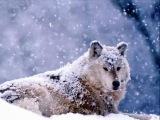 снежные белые волки (клип)